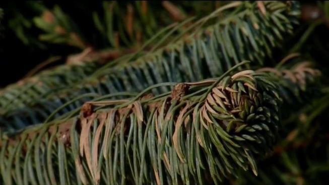 Algunas opciones para desechar su árbol de Navidad - Telemundo 52