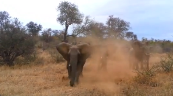 Impactante video de elefante enfurecido