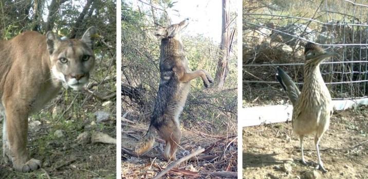Animales captados en cámara en el desierto urbano de Los Ángeles